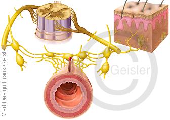 Vegetatives Nervensystem, unwillkürliche periphere Nerven der Organe des Menschen
