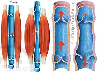 Vene mit Muskel-Venen-Pumpe und Venenklappen