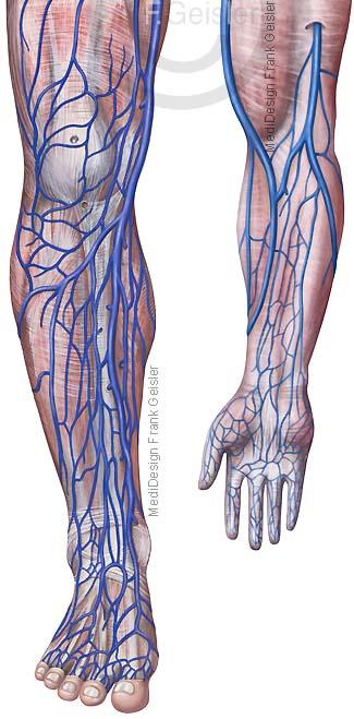 Anatomie Blutgefäße des Menschen, oberflächliche Venen an Bein und Arm