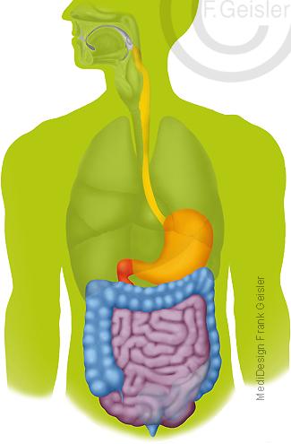 Verdauung Verdauungstrakt Verdauungsapparat des Menschen
