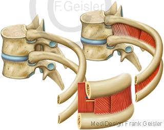 Anatomie Wirbel Wirbelknochen mit Bandscheiben Rippen Gelenke Muskeln