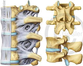 Wirbel Wirbelknochen der Wirbelsäule mit Bandscheiben Bänder