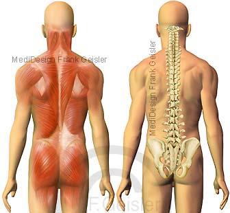 Rücken mit Muskeln Muskulatur und Wirbelsäule