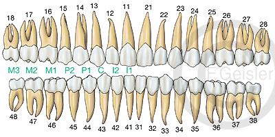 Zähne Gebiss Zahnreihen des Menschen