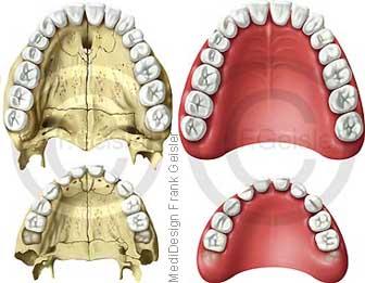 Anatomie Gebiss, Zähne Zahnreihen Kiefer Erwachsener und Kind