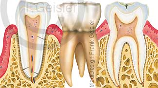 Zahn mit Zahnwurzel und Zahnhalteapparat