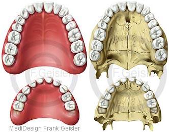 Anatomie Zähne, Zahnreihen im Oberkiefer mit Gaumen beim Erwachsener und Kind