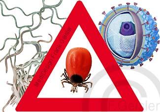 Vorsicht Zecken, Übertragung FSME-Virus durch Borrelien Lyme-Borreliose und FSME-Virus Erreger der Virusmeningitis