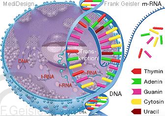 Zelle Zellkern, DNA Transkription mRNA