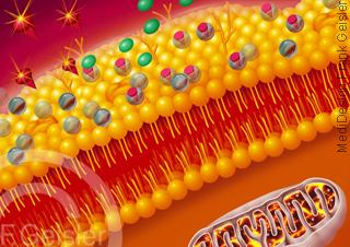 Schutz der Zelle Zellwand Zellmembran durch Coenzym Q10 gegen freie Radikale