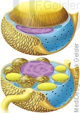 Fett, weiße braune Fettzellen Adipozyten