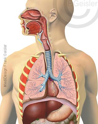Anatomie Atemtrakt des Menschen, Atemwege Luftwege mit Luftröhre Trachea und Lunge Lungen