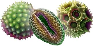 Pollen Gräserpollen Blütenpollen Pflanzenpollen sind Auslöser Allergie Pollenallergie