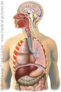 Anatomie Mensch, Atmung Atemwegssystem Respiratorisches System des Menschen