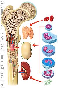 Anatomie Mensch, Blut Blutbildung Blutbildungsorgane des Menschen