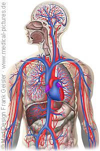 Anatomie Mensch, Blutkreislauf Herz-Kreislauf-System des Menschen