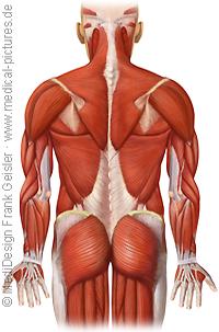 Anatomie Mensch, Muskeln Muskulatur Skelettmuskulatur des Menschen