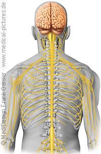 Anatomie Mensch, Nerven Nervensystem Zentralnervensystem ZNS des Menschen