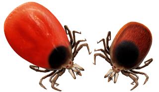 Lyme-Borreliose FSME durch Zecken von MediDesign Frank Geisler