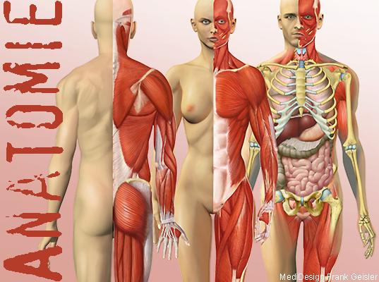 Anatomie Mensch, Skelett Organe Muskeln im Körper des Menschen von Frank Geisler